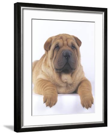 Shar-Pei-DLILLC-Framed Photographic Print