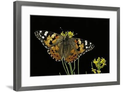 Vanessa Cardui (Painted Lady Butterfly)-Paul Starosta-Framed Photographic Print