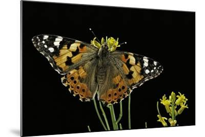 Vanessa Cardui (Painted Lady Butterfly)-Paul Starosta-Mounted Photographic Print