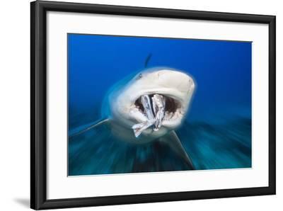 Bull Shark Feeding (Carcharhinus Leucas), Beqa Lagoon, Viti Levu, Fiji-Reinhard Dirscherl-Framed Photographic Print