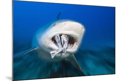 Bull Shark Feeding (Carcharhinus Leucas), Beqa Lagoon, Viti Levu, Fiji-Reinhard Dirscherl-Mounted Photographic Print