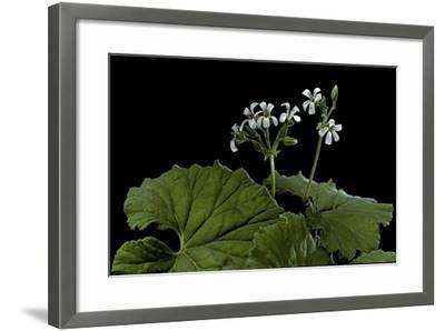 Pelargonium Odoratissimum (Apple Geranium)-Paul Starosta-Framed Photographic Print