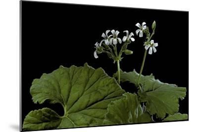 Pelargonium Odoratissimum (Apple Geranium)-Paul Starosta-Mounted Photographic Print