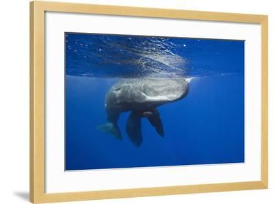 Sperm Whales (Physeter Macrocephalus)-Reinhard Dirscherl-Framed Photographic Print