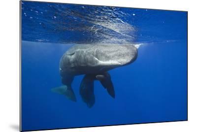 Sperm Whales (Physeter Macrocephalus)-Reinhard Dirscherl-Mounted Photographic Print