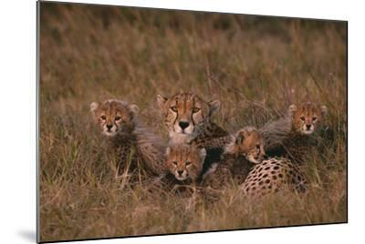 Cheetah with Cubs in Grass-DLILLC-Mounted Photographic Print