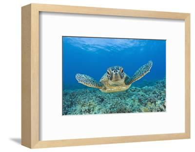 Green Turtle (Chelonia Mydas), Maui, Hawaii, USA-Reinhard Dirscherl-Framed Photographic Print