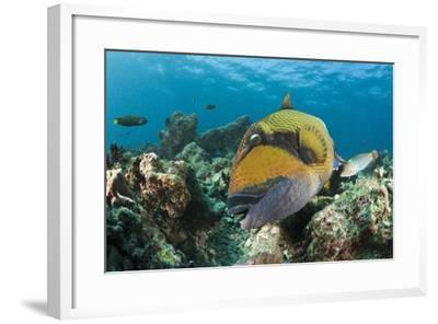 Moustache Triggerfish-Reinhard Dirscherl-Framed Photographic Print