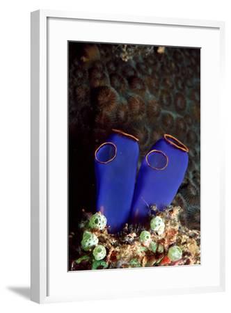 Sea Squirt Tunicates (Ascidia), Pacific Ocean, Panglao Island.-Reinhard Dirscherl-Framed Photographic Print