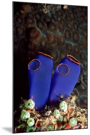 Sea Squirt Tunicates (Ascidia), Pacific Ocean, Panglao Island.-Reinhard Dirscherl-Mounted Photographic Print