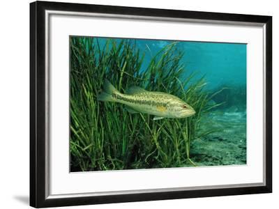 Largemouth Bass, Micropterus Salmoides, Usa, Florida, FL-Reinhard Dirscherl-Framed Photographic Print