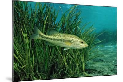 Largemouth Bass, Micropterus Salmoides, Usa, Florida, FL-Reinhard Dirscherl-Mounted Photographic Print