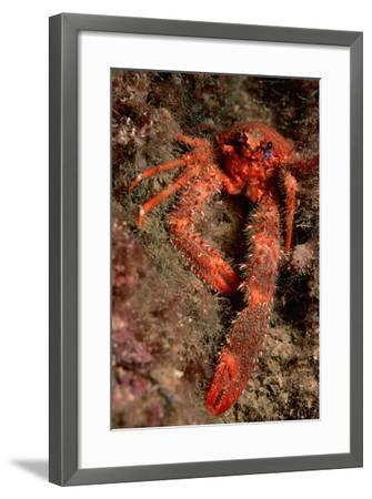 Crab (Galathea Strigosa).-Reinhard Dirscherl-Framed Photographic Print