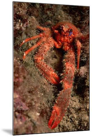 Crab (Galathea Strigosa).-Reinhard Dirscherl-Mounted Photographic Print