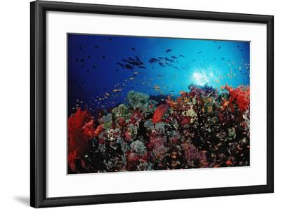 Coral Grouper and Reef, Cephalopholis Miniata, Sudan, Africa, Red Sea-Reinhard Dirscherl-Framed Photographic Print