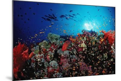 Coral Grouper and Reef, Cephalopholis Miniata, Sudan, Africa, Red Sea-Reinhard Dirscherl-Mounted Photographic Print