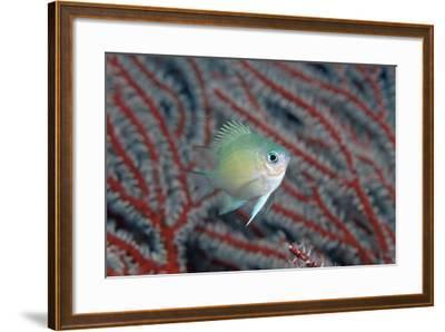 Spiny Chromis (Acanthochromis Polycanthus)-Reinhard Dirscherl-Framed Photographic Print
