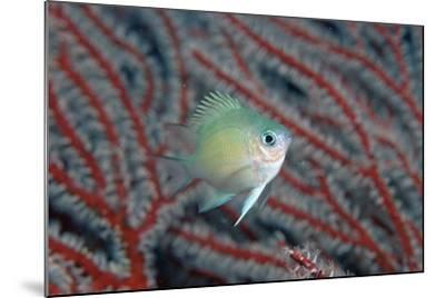 Spiny Chromis (Acanthochromis Polycanthus)-Reinhard Dirscherl-Mounted Photographic Print