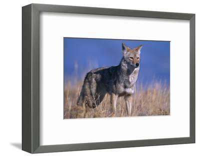 Coyote in Field-DLILLC-Framed Photographic Print