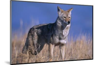 Coyote in Field-DLILLC-Mounted Photographic Print