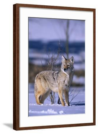 Coyote Walking in Snow-DLILLC-Framed Photographic Print