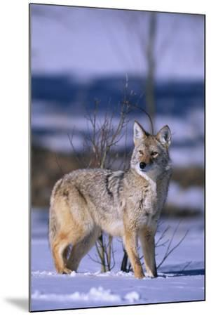 Coyote Walking in Snow-DLILLC-Mounted Photographic Print