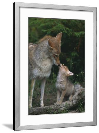 Coyote Mother and Pup-DLILLC-Framed Photographic Print