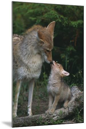 Coyote Mother and Pup-DLILLC-Mounted Photographic Print