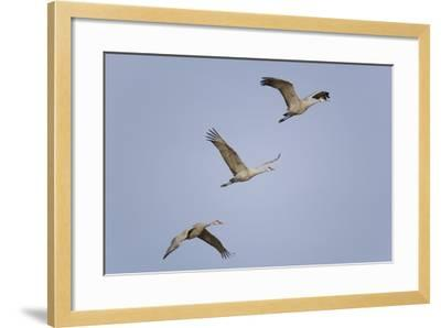 Sandhill Cranes Flying-DLILLC-Framed Photographic Print
