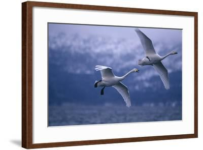 Whooper Swans Flying over Water-DLILLC-Framed Photographic Print
