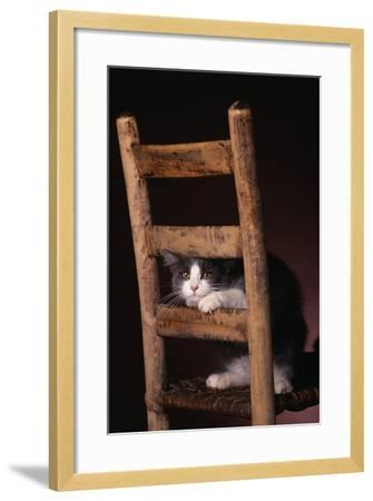 Gray and White Cat Looking through Wood Chair-DLILLC-Framed Photographic Print