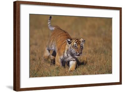 Bengal Tiger Cub Walking in Grass-DLILLC-Framed Photographic Print