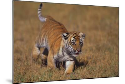 Bengal Tiger Cub Walking in Grass-DLILLC-Mounted Photographic Print