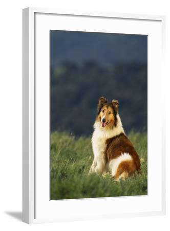 Collie Sitting in a Meadow-DLILLC-Framed Photographic Print