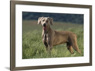 Weimaraner Standing in Field-DLILLC-Framed Photographic Print
