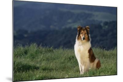 Collie Sitting in Field-DLILLC-Mounted Photographic Print