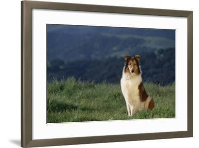 Collie Sitting in Field-DLILLC-Framed Photographic Print