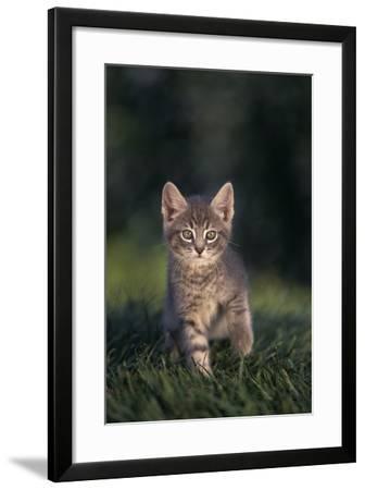 Tabby Kitten in Grass-DLILLC-Framed Photographic Print