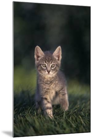 Tabby Kitten in Grass-DLILLC-Mounted Photographic Print
