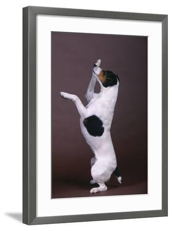 Jack Russell Terrier with Paws in Air-DLILLC-Framed Photographic Print