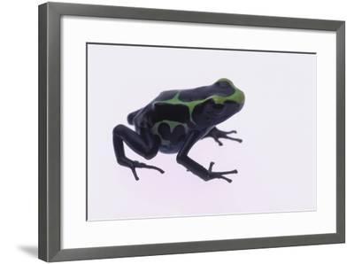 Green Poison Arrow Frog-DLILLC-Framed Photographic Print
