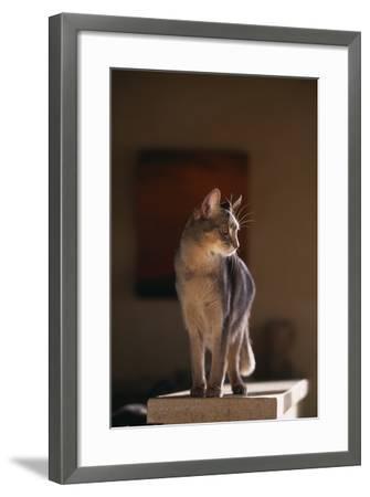 Abyssinian Blue Cat on Pedestal-DLILLC-Framed Photographic Print