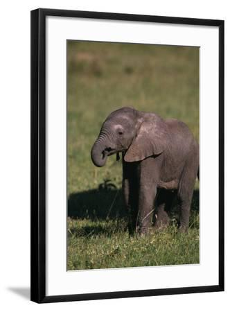 Baby Elephant Curling up its Trunk-DLILLC-Framed Photographic Print