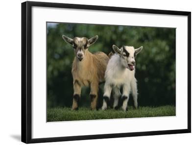 Two Pygmy Goats-DLILLC-Framed Photographic Print
