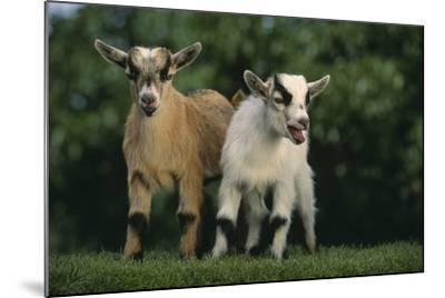 Two Pygmy Goats-DLILLC-Mounted Photographic Print