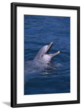 Bottlenosed Dolphin with Mouth Open-DLILLC-Framed Photographic Print