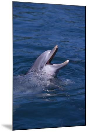 Bottlenosed Dolphin with Mouth Open-DLILLC-Mounted Photographic Print