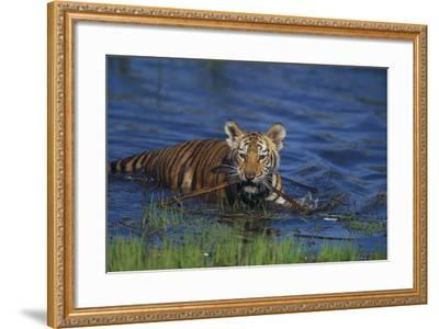 Bengal Tiger Cub in Water-DLILLC-Framed Photographic Print
