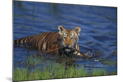 Bengal Tiger Cub in Water-DLILLC-Mounted Photographic Print