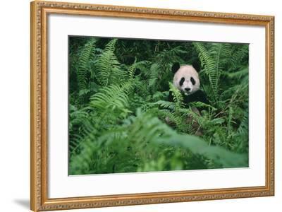 Giant Panda in Forest-DLILLC-Framed Photographic Print